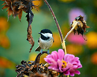 Black-capped Chickadee looking for sunflower seeds. Autumn Backyard Nature in New Jersey. Image taken with a Nikon 1 V3 camera and 70-300 mm VR telephoto zoom lens. (ISO 160, 300 mm, f/5.6, 1/20 sec).