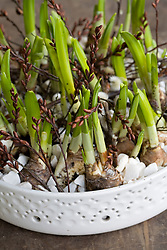 Narcissus bulbs planted in shallow white dish