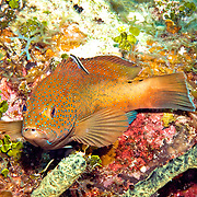 Coney, one color phase, inhabit reefs in Tropical West Atlantic; picture taken Little Cayman.