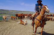 19 MAY 2002 - INGOMAR, MONTANA, USA: A cowboy on the Hoff ranch near Ingomar, MT, pulls a roped calf over to the branding area during the branding of the spring calves, May 19, 2002. Ranches across Montana and the American west start branding their spring crop of calves in April and continue through May. This year's crop of calves is lower than in years past because of the drought gripping much of the west. Many ranches have moved to branding tables and chutes but the Hoff ranch still brands the traditional way by roping individual calves out of the herd. .PHOTO BY JACK KURTZ
