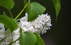 THEMENBILD - ein blühender, weißer Fliederbusch, aufgenommen am 10. Mai 2018, Zell am See, Österreich // a blooming, white lilac bush on 2018/05/10, Zell am See, Austria. EXPA Pictures © 2018, PhotoCredit: EXPA/ Stefanie Oberhauser