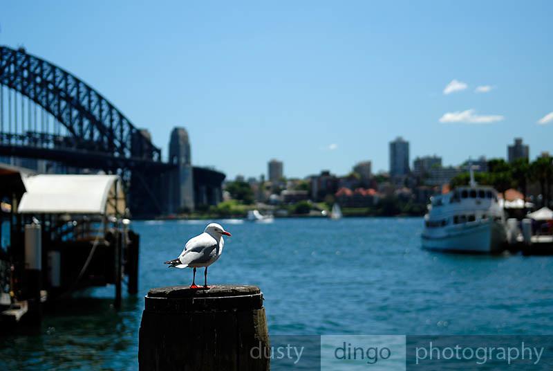 Seagull on pylon, Sydney Harbour Bridge in background. Circular Quay, Sydney, Australia