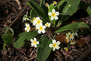 Yellow flowers of primrose plant from above, Primula vulgaris, Suffolk, England, UK
