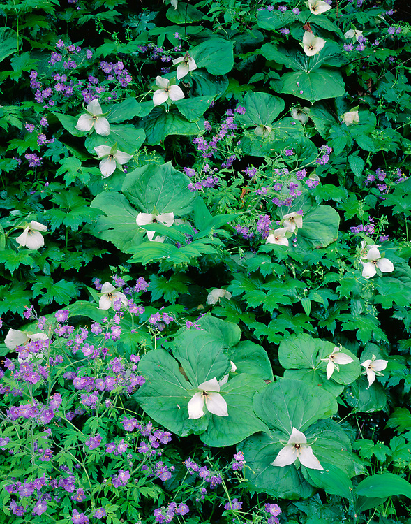 Trillium and phacelia, spring, Great Smoky Mountains National Park, Tennessee, USA