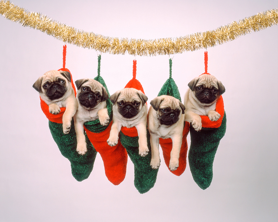 5 Pug Puppies hanging from Christmas Stocking and garland at about 7 weeks old.  Licensing and Open Edition Prints.