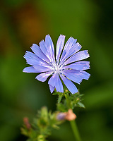 Chicory. Image taken with a Leica CL camera and 90-280 mm lens.