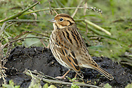 Little Bunting Emberiza pusilla. Buntings from eastern Europe and Asia occasionally turn up in spring and autumn. These include the Little Bunting.