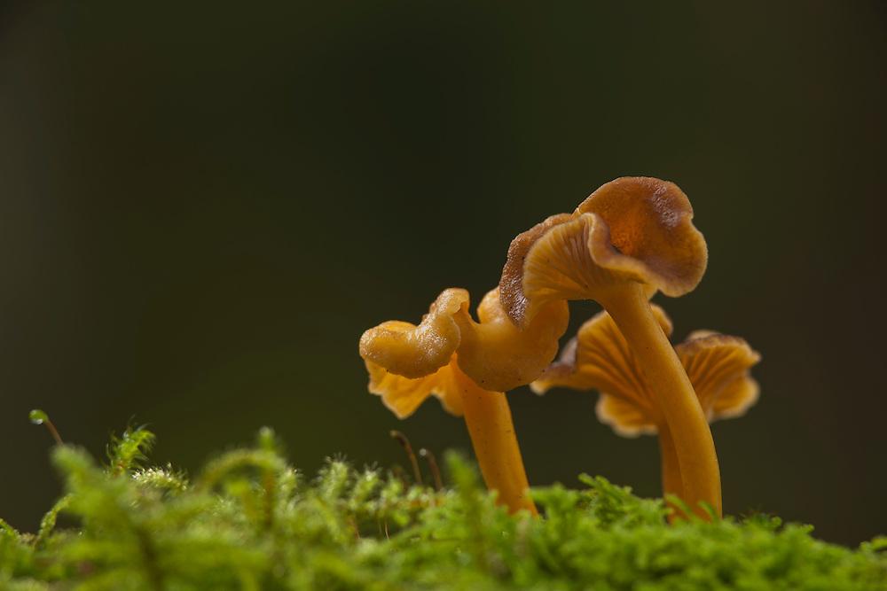 Group Chanterelle mushrooms in moss against dark background