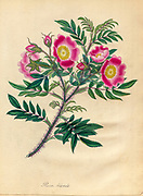 ROSA blanda, Hudsons Bay or Labradore Rose From the book Roses, or, A monograph of the genus Rosa : containing coloured figures of all the known species and beautiful varieties, drawn, engraved, described, and coloured, from living plants. by Andrews, Henry Charles, Published in London : printed by R. Taylor and Co. ; 1805.