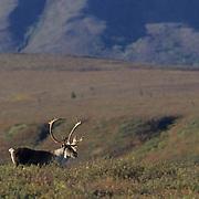 Barren Ground Caribou, (Rangifer arcticus) Denali National Park, Alaska.