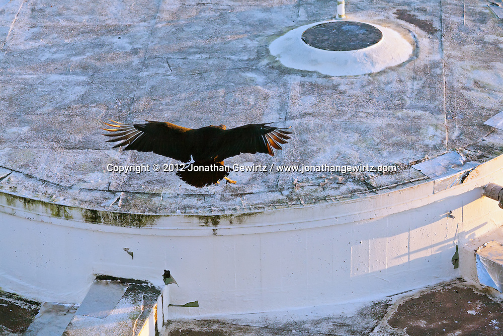 A Black Vulture (Coragyps atratus) in flight and about to land on the roof of a building in Everglades National Park, Florida. WATERMARKS WILL NOT APPEAR ON PRINTS OR LICENSED IMAGES.