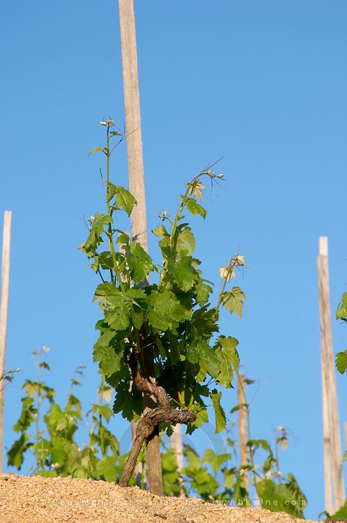 syrah vineyard hermitage rhone france