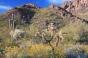 Springtime wildflowers on Ajo Mountain in Organ Pipe Cactus National Monument, Arizona, USA