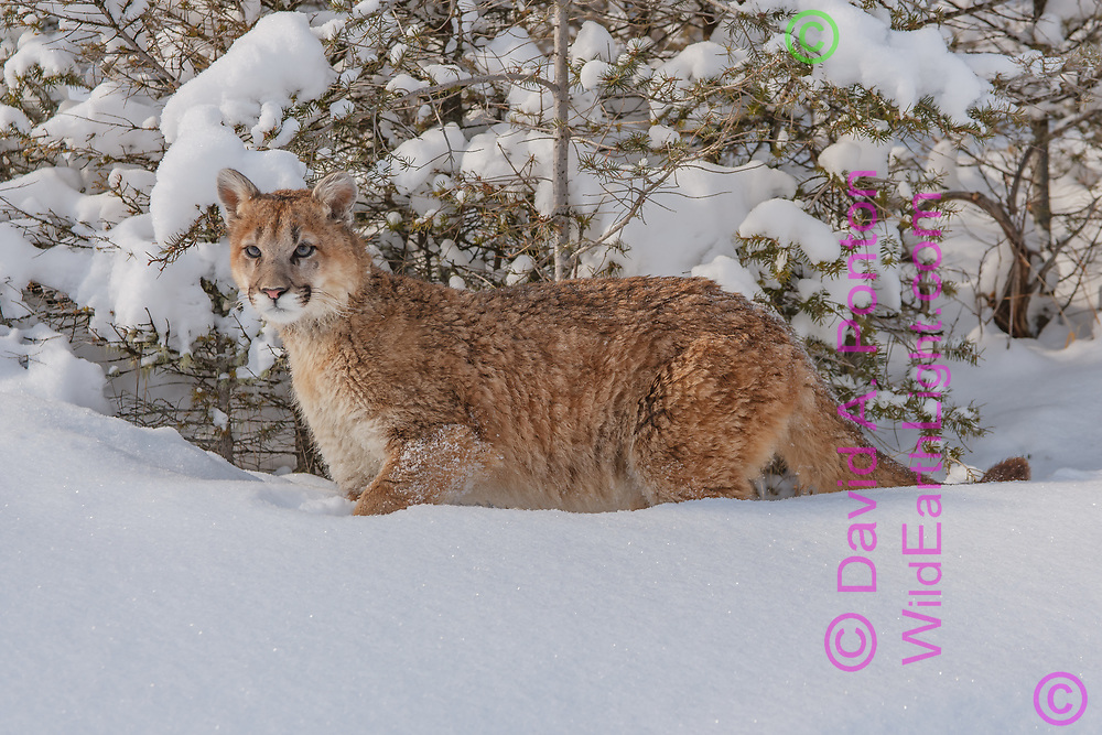 Young mountain lion in fresh snow at forest edge, © David A. Ponton