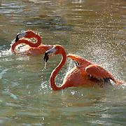 Caribbean or West Indian Flamingo .(Phoenicopterus ruber ruber) Taking a bird bath. San Diego Zoo.  Captive Animal. .Caribbean or West Indian Flamingo (Phoenicopterus ruber ruber) Taking a bird bath. San Diego Zoo. CAPTIVE.