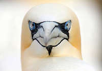 Gannet portrait Saltee Islands Ireland