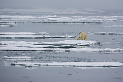 Polar bear (Ursus maritimus) mother and cub in the drifting ice in Hinlopen, Svalbard