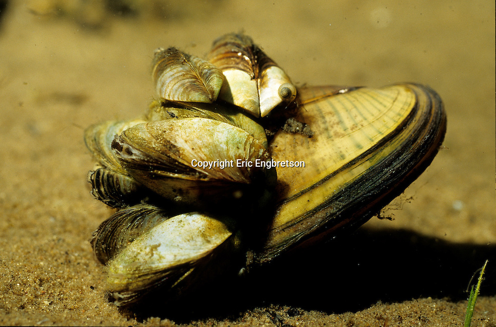 Zebra Mussel attached to shell of native mussel<br /> <br /> ENGBRETSON UNDERWATER PHOTO