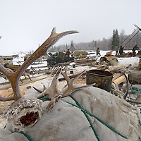 Reindeer antlers, which can be sold as Chinese medicine, are a valuable source of secondary income for the nomadic Komi reindeer herders who live north of the Arctic Circle in Russia.  These  are carefully preserved in the spring when animals drop their horns.