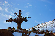 Tree and snow on the HIgh Atlas Mountains.