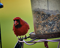 Male Northern Cardinal. Image taken with a Nikon D5 camera and 600 mm f/4 VR lens (ISO 1600, 600 mm, f/5.6, 1/500 sec)