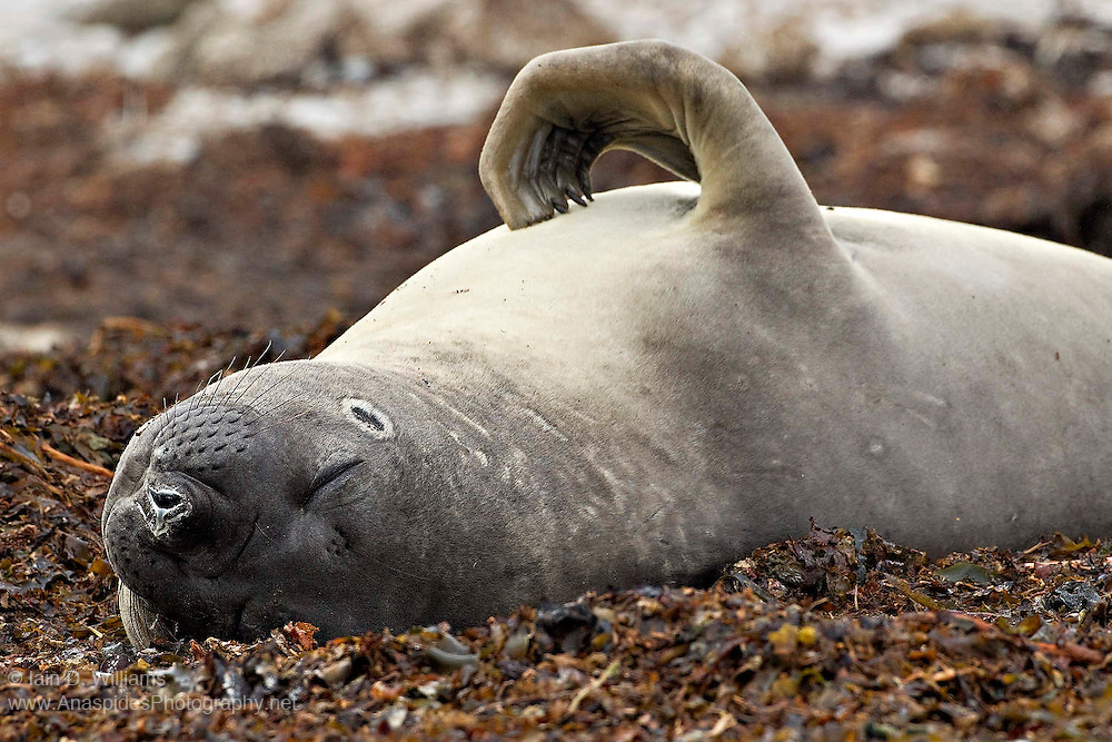 Southern elephant seal on kelp covered beach shows the telltale circular injury of a bite from a cookie cutter shark
