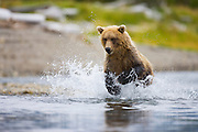A coastal brown bear ( Ursus arctos ) runs through water while fishing , morning, Katmai Peninsula, Alaska