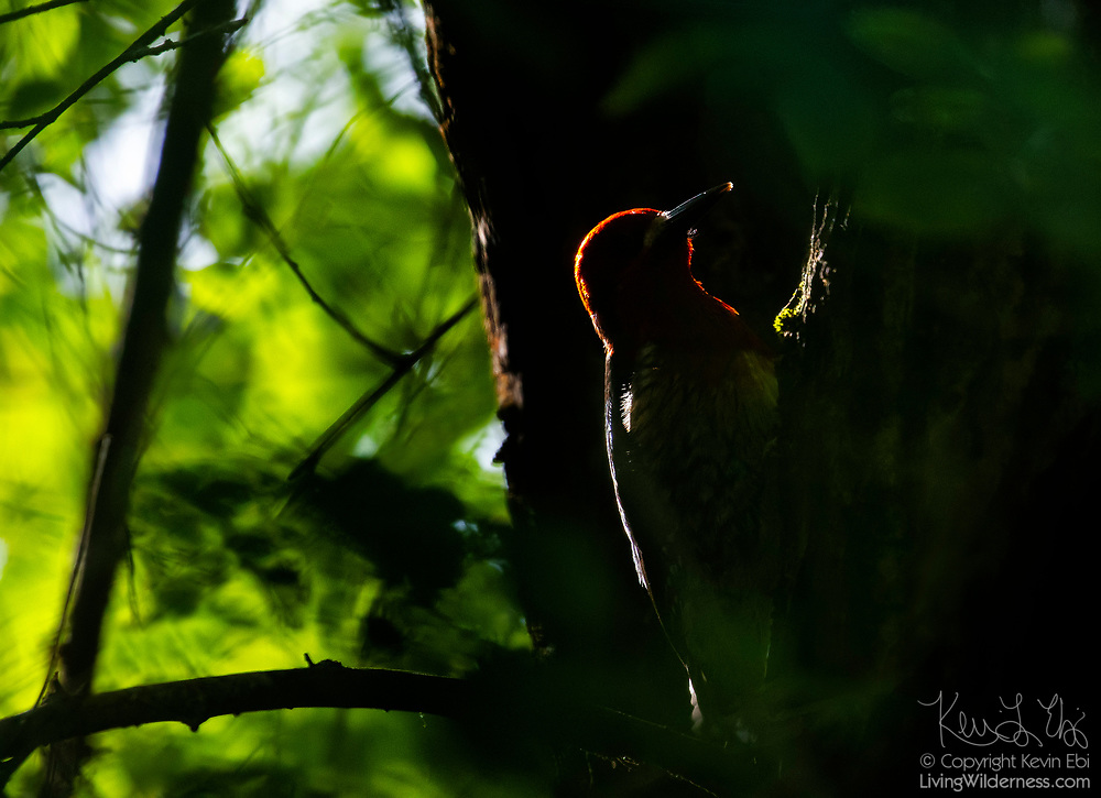 A red-breasted sapsucker (Sphyrapicus ruber), backlit in the evening sun, drills holes in an elm tree in Snohomish County, Washington. The red-breasted sapsucker is known for drilling neat rows of shallow holes into trees to collect sap.