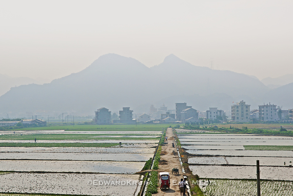 Rice farming in at the side of a highway with a town in the background in southeastern China.