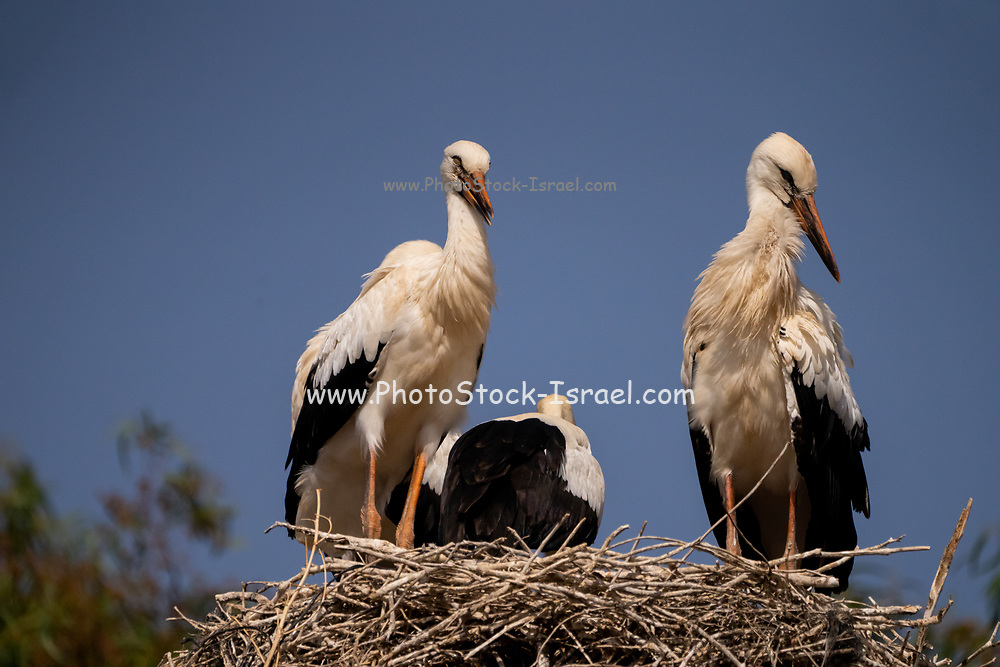 Nest of a White Stork (Ciconia ciconia) adults are feeding the young Photographed in Israel in June