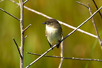 Arthur J Marshall National Wildlife Reserve - Loxahatchee, Florida, USA. Eastern Phoebe, (Sayornis phoebe)