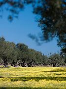Olive Grove outside Mahdia, Tunisia