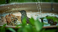 Grey Catbird taking a Bird Bath. Image taken with a Nikon D4 Camera and 600 mm f/4 VR lens (ISO 1400, 600 mm, f/4, 1/1250 sec).