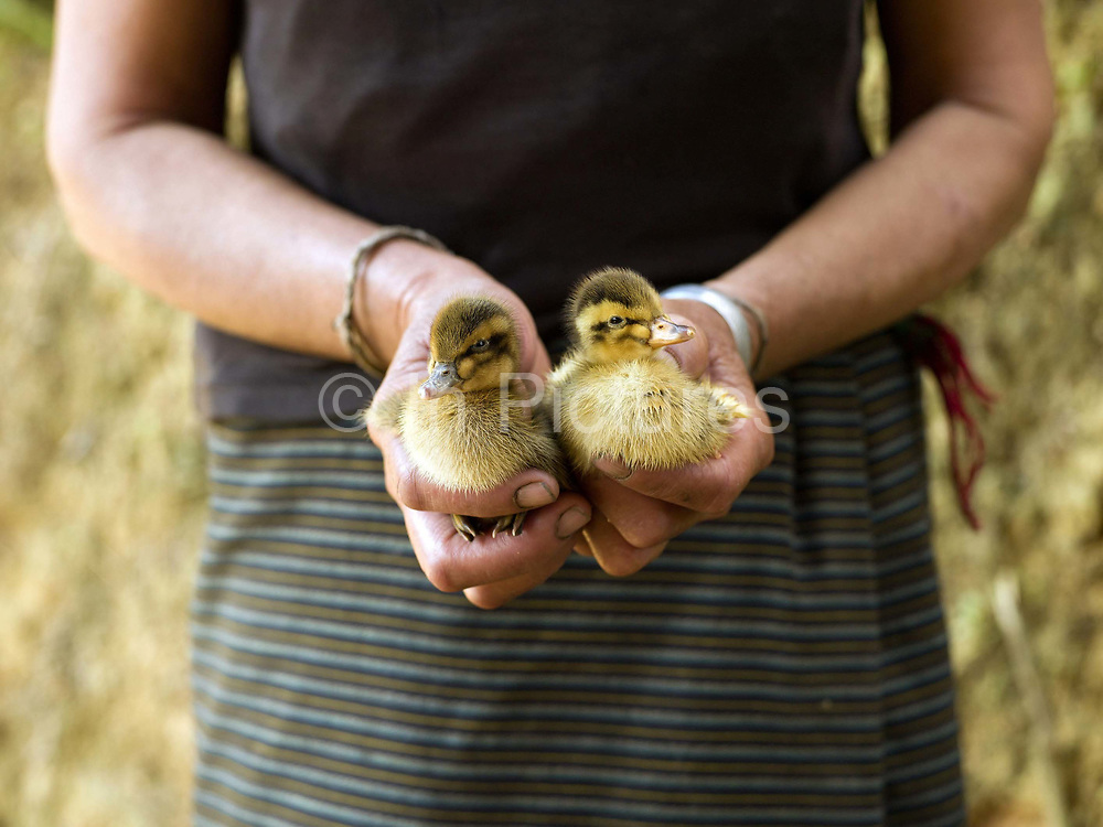 A Tai Dam ethnic minority woman holds a pair of ducklings in Ban Nam Bone village, Phongsaly Province, Lao PDR. The Tai Dam usually reside in valleys close by to rivers or streams where they grow paddy rice and keep livestock.