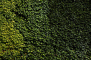 Ivy covered wall on the Old Admiralty Building next to Horse Gurads Parade in St James', central London.