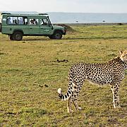 Cheetah (Acinonyx jubatus) with tourists.  Masai Mara Game Reserve, Kenya, Africa