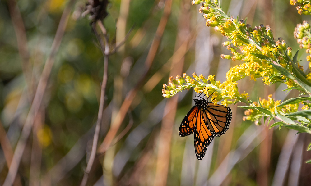 Monarch butterfly clinging to flower