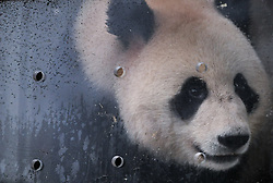 April 29, 2019 - Ya'An, China -  Ru Yi, the male panda born in 2016, is seen in a transport cage at the Bifengxia base of the China Conservation and Research Center for the Giant Panda in Ya'an, southwest China's Sichuan Province. Chinese researchers held a send-off ceremony for a pair of giant pandas who are to depart for Moscow on Monday for a 15-year collaborative research. Ru Yi, the male panda born in 2016, and Ding Ding, the female panda born in 2017, are scheduled to board a flight at 1:45 p.m. in Chengdu and arrive in Moscow at 10:00 p.m. Beijing Time the same day, the panda research base in southwest China's Sichuan Province said. (Credit Image: © Xinhua via ZUMA Wire)