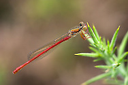 Small Red Damselfly - Ceriagrion tenellum