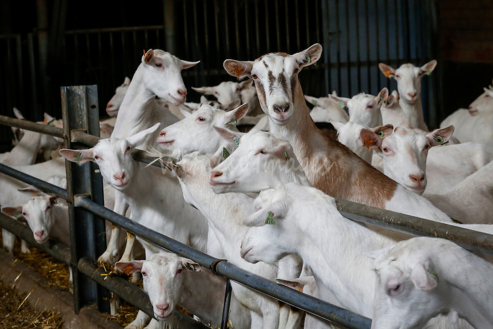 """DG AGRI Study trip to Belgium """"The CAP and Innovation"""". Visit of the Polle goat  farm in Lichtaart, November 27, 2013.  Photo : Thierry Roge © European Union"""