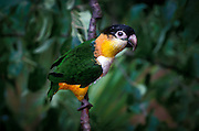 Black-headed caique parrot (Pionites melanocephala) portrait. Range: Brazil, Venezuela, Columbia. Captive, Hillsboro Oregon.