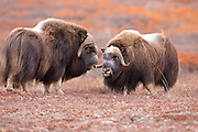 Alaska. Muskox (Ovibos moschatus) bulls moments before a confrontation over the herd's cows during the autumn breeding season on the Seward Peninsula, outside of Nome.