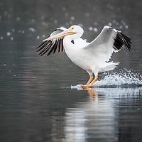 Pelicans, Herons and Egrets