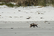 Virginia opossum (Didelphis virginiana) on beach<br /> Little St Simon's Island, Barrier Islands, Georgia<br /> USA