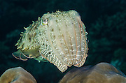 Broadclub Cuttlefish (Sepia latimanus)<br /> Cenderawasih Bay<br /> West Papua<br /> Indonesia