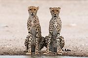 Two cheetahs, Acinonyx jubatus, at a waterhole