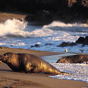 Northern Elephant Seal, (Mirounga angustirostris) Large male lumbers onto beach. Central California.