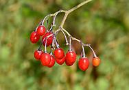 Woody Nightshade - Solanum dulcamara