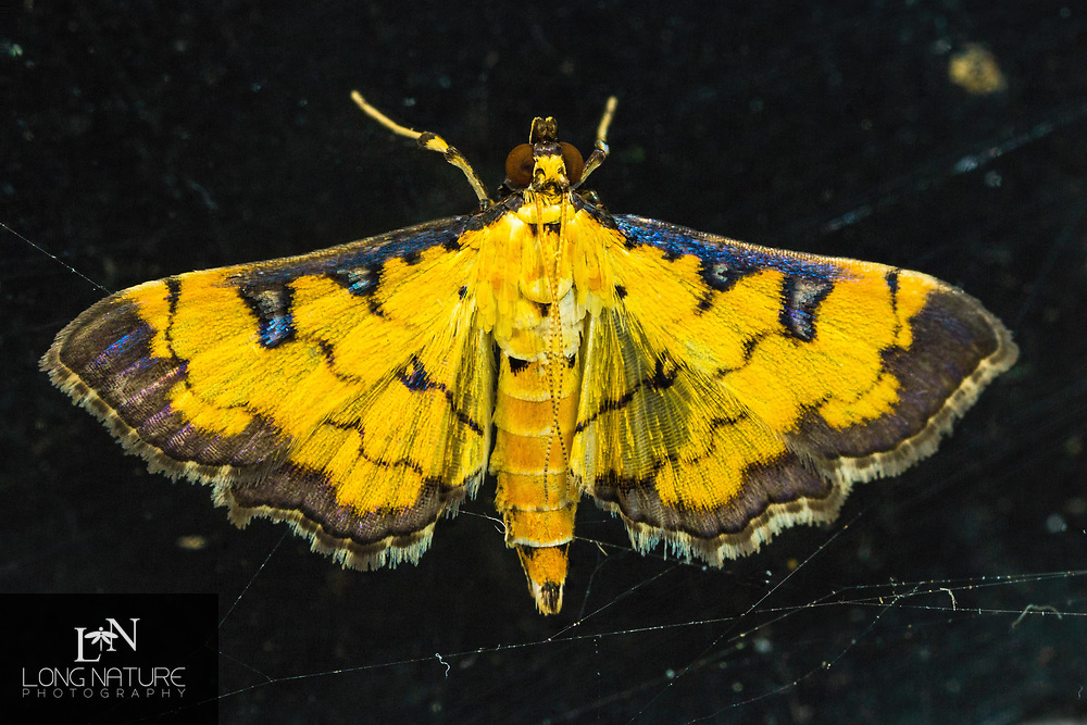 Two-spotted Crambid - Ategumia ebulealis.  Lady Lake, Florida USA