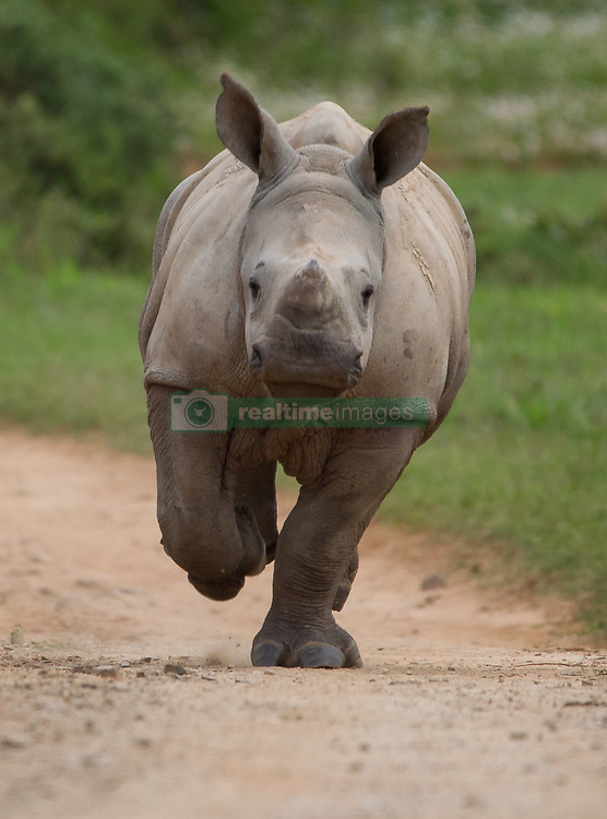 May 19, 2015 - A MIRACLE baby rhino whose mother barely survived an attack by poachers while pregnant shows just how happy to be alive a baby can be. Pictures show the exuberant baby rhino charging towards the photographer in sheer joy and also the proud mummy rhino who survived a brutal attack from poachers that left her hornless and battling to live.  This little rhino shows mum's struggle for survival was well worth it and the baby is seen enjoying life to the full. South African photographer Jacques Matthysen (37) described the moment these pictures were taken at the Kariega Game Reserve. (Credit Image: © Media Drum World/MediaDrumWorld via ZUMA Press)